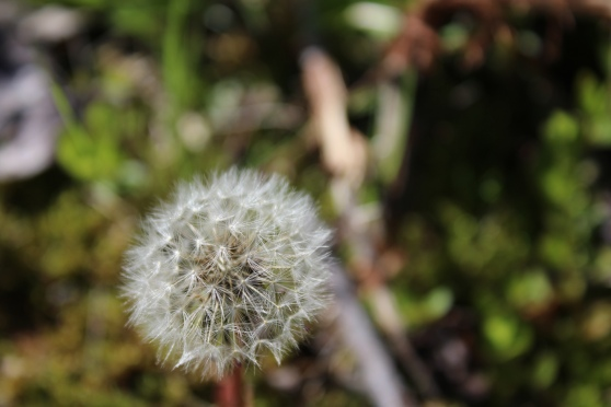 dandelion puff-ball