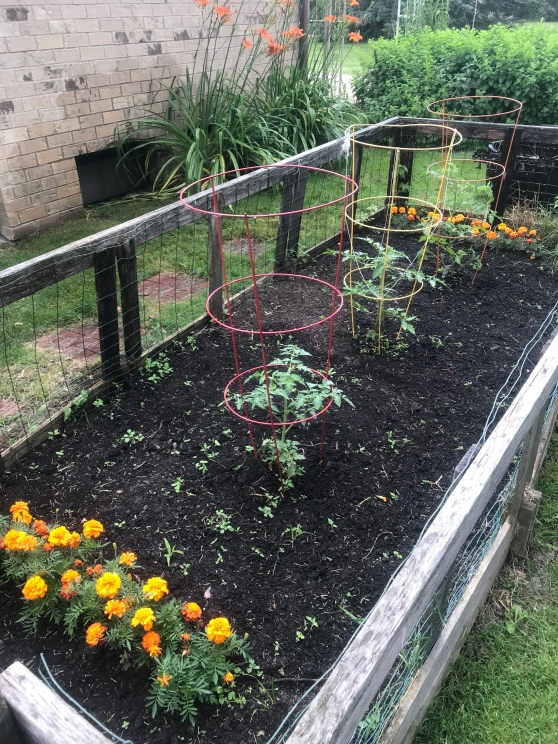 Tomato garden planted