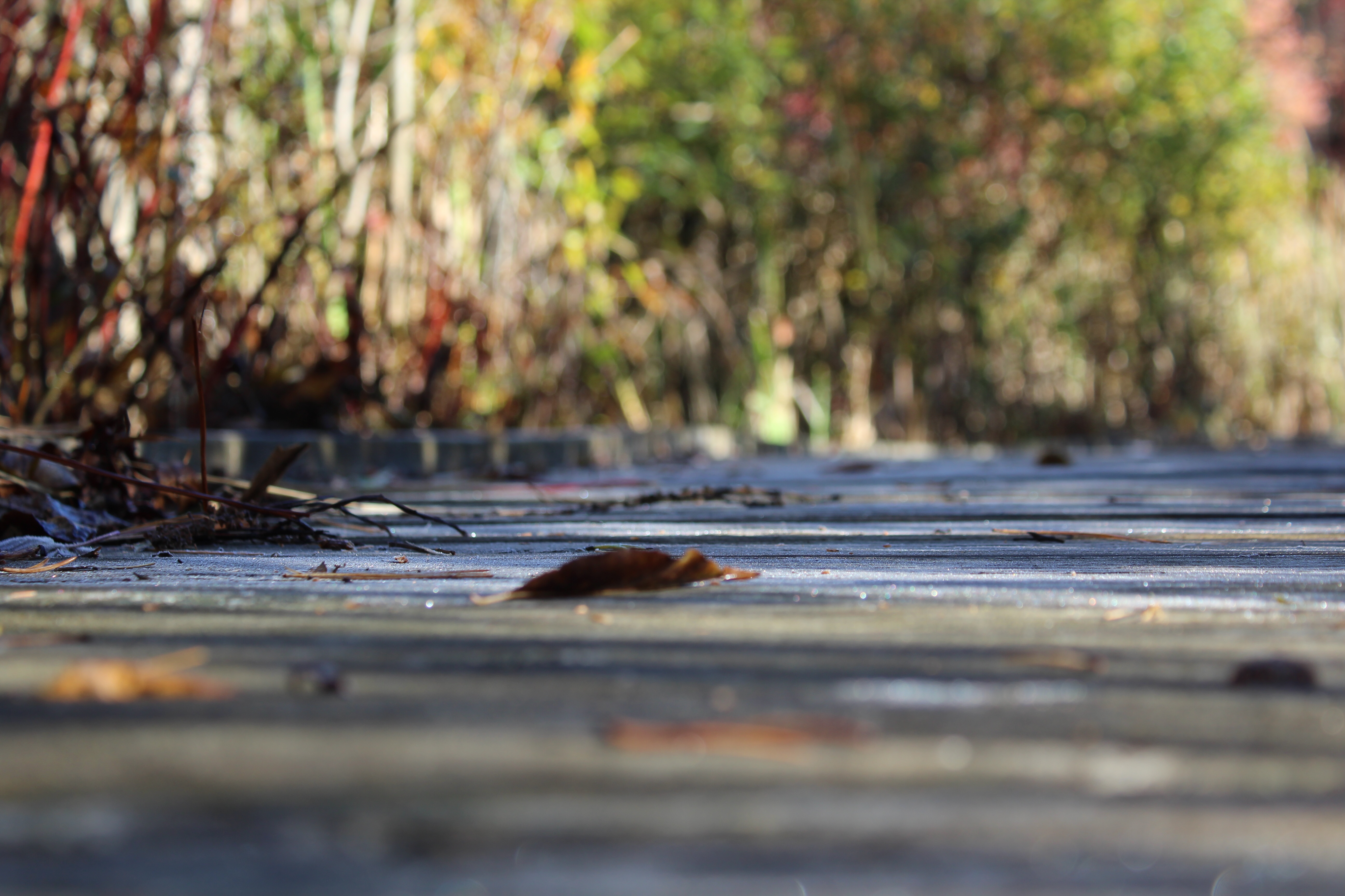 A boardwalk in a marsh with fall foliage in the background.
