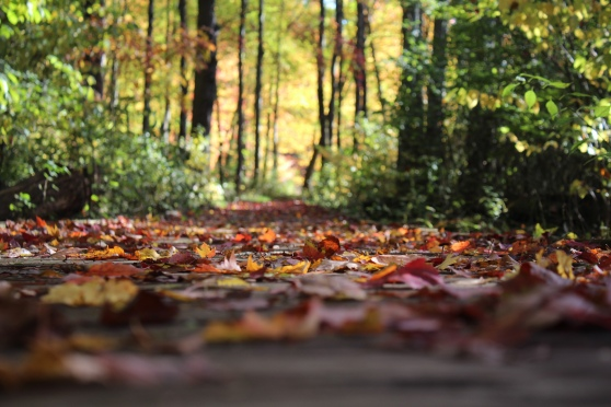 A boardwalk covered with fall leaves in the woods.