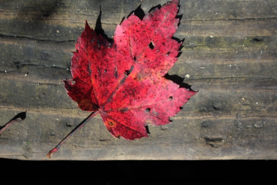 Red leaf on a boardwalk.