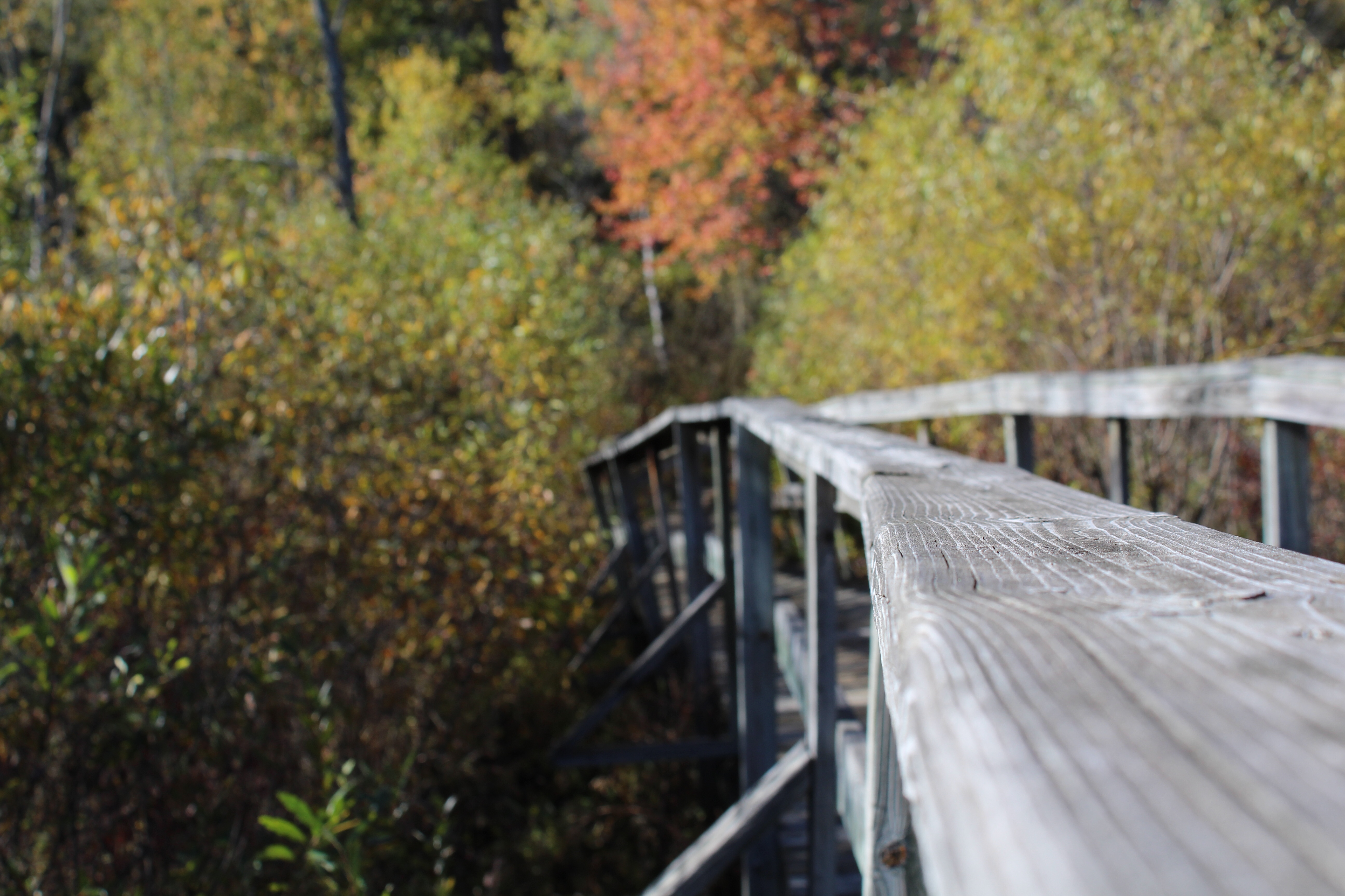 A boardwalk through a marsh and into a fall forest.